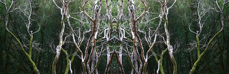 Twisted Trees, Julia Pfeiffer Burns Park, CA - ID: 9608603 © STEVEN B. GRUEBER
