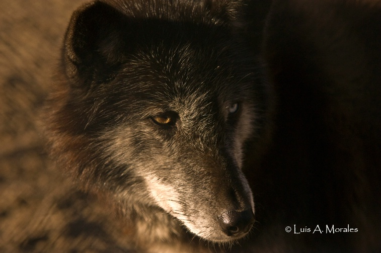 pawolfsanctuary0001 - ID: 9611616 © Luis A. Morales