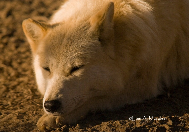 pawolfsanctuary0002 - ID: 9611617 © Luis A. Morales