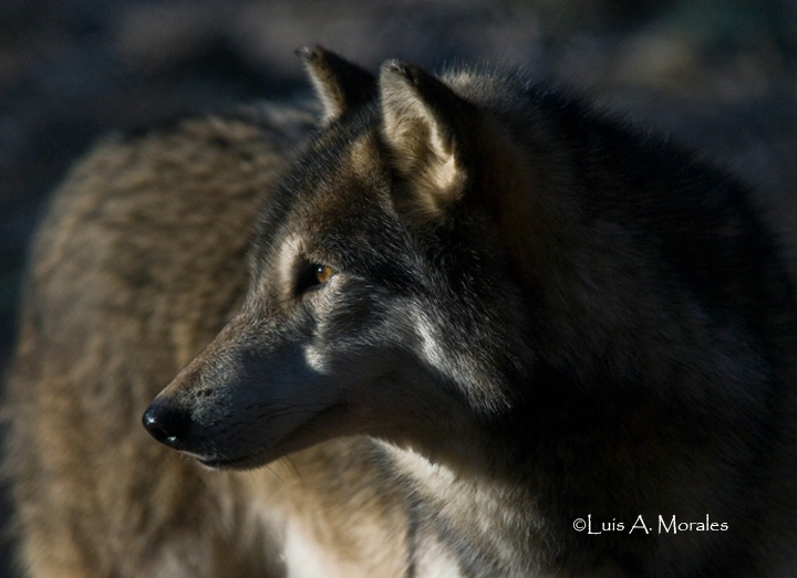 pawolfsanctuary0003 - ID: 9611618 © Luis A. Morales