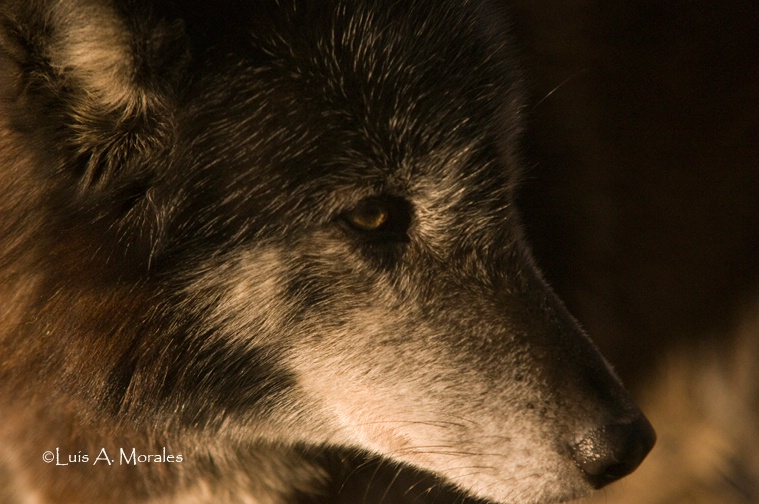 pawolfsanctuary0004 - ID: 9611620 © Luis A. Morales
