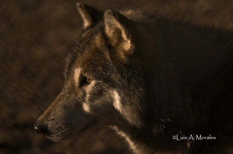 pawolfsanctuary0009 - ID: 9611628 © Luis A. Morales
