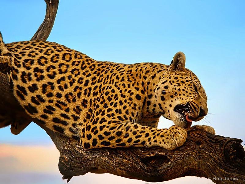 Leopard Feeding