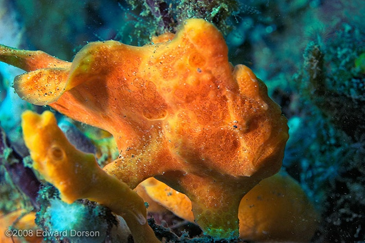 Juvinile Painted Frogfish_2 - ID: 9633584 © Edward Dorson