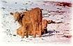 Winter Calves - S...