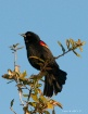 Red Winged Blackb...