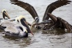 Fighting Pelicans
