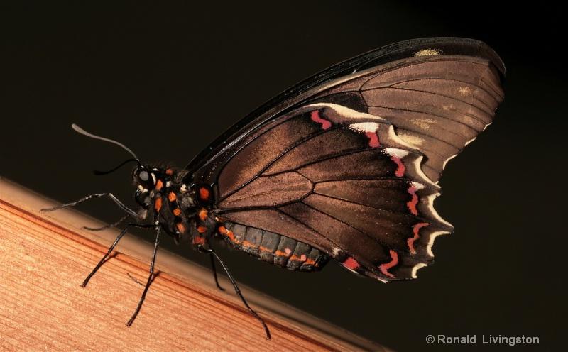 Black Butterfly - ID: 9653798 © Ron Livingston