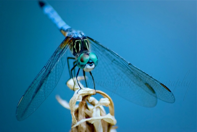 For the love of the Dragonfly