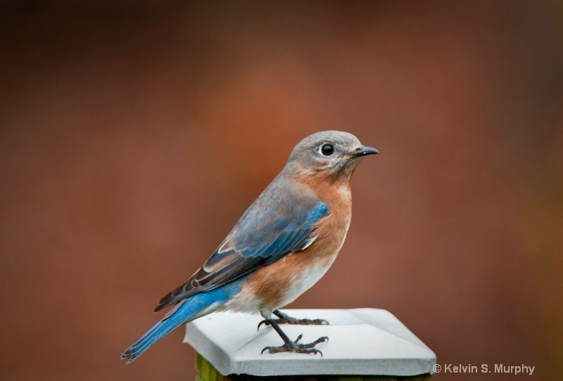profile of an eastern bluebird