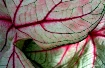 Colored Caladiums