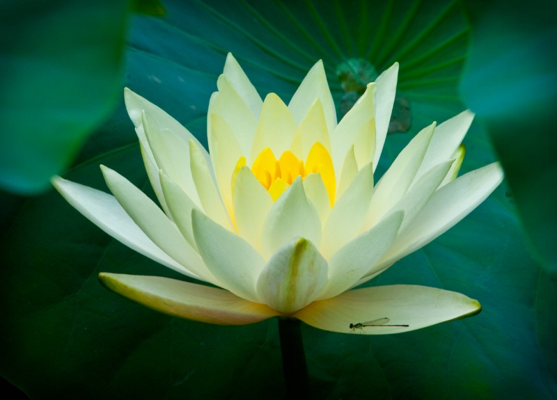 water lilly and dragonfly