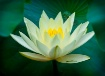 water lilly and d...