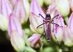 Aedes albopictus ...