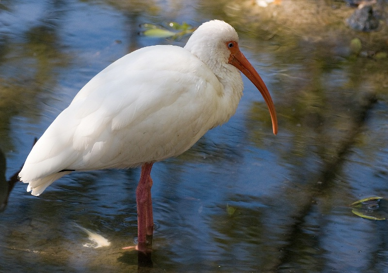 White Ibis - ID: 9669749 © Thomas R. Wilson