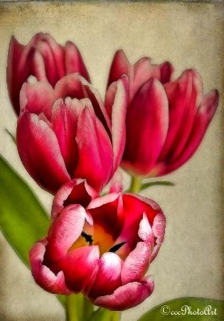 Hot Pink Glory
