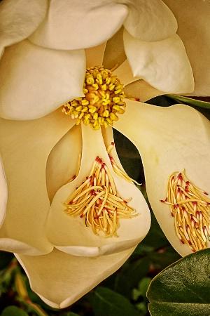 Magnolia tears
