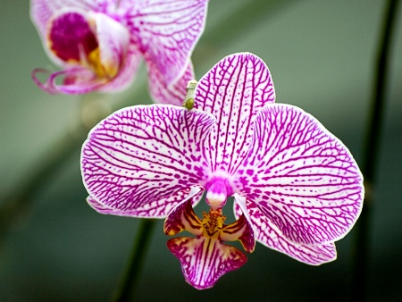 Doritaenopsis Malibu Music