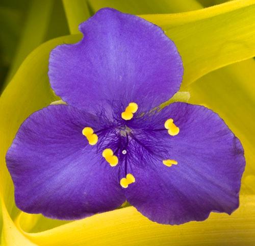 Purple Petals  - ID: 9685451 © Joseph Cagliuso