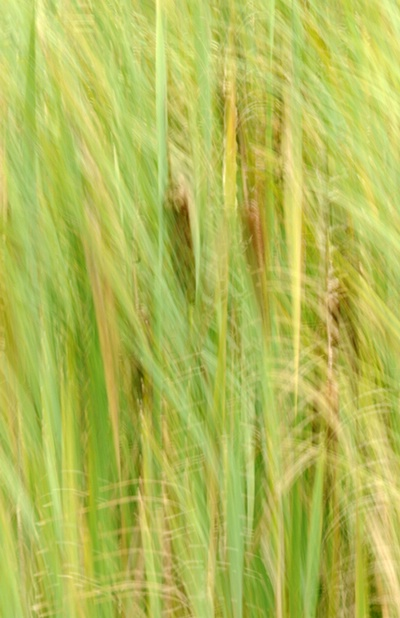 Multiexposure of Cattails and Grasses - ID: 9685466 © Joseph Cagliuso
