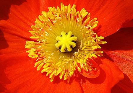 Macro Poppy