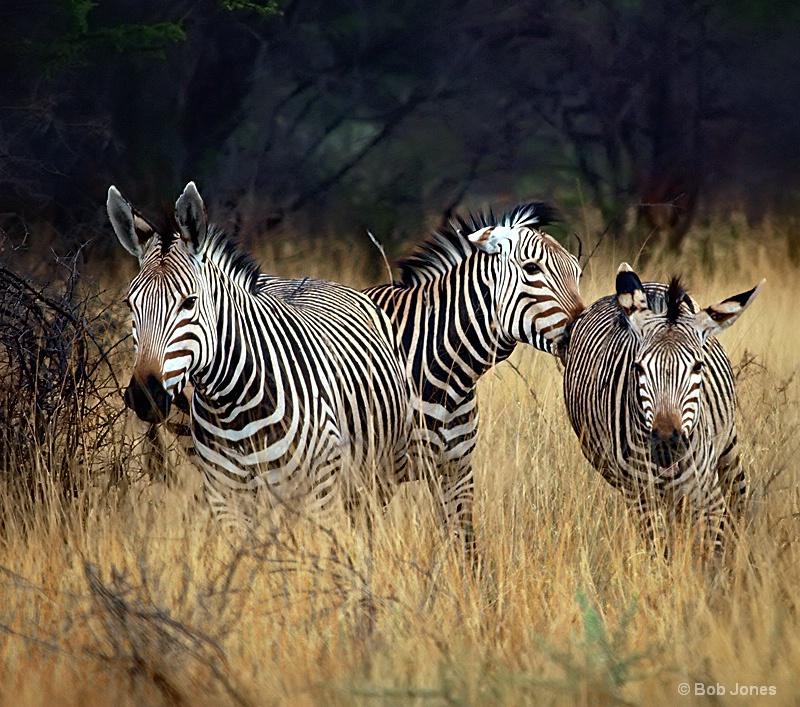 Stampede of Mountain Zebra