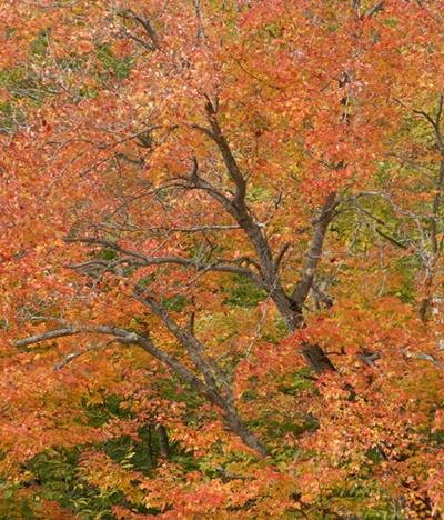 Maple Tree in Autumn - ID: 9688235 © Joseph Cagliuso