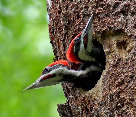 Two-headed Woodpecker