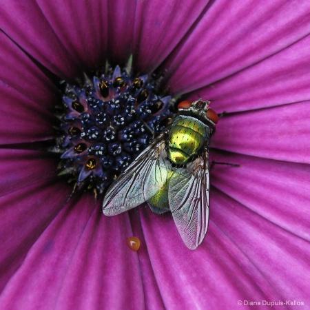 Green fly on purple flower