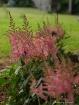 Pink Astilbe'...