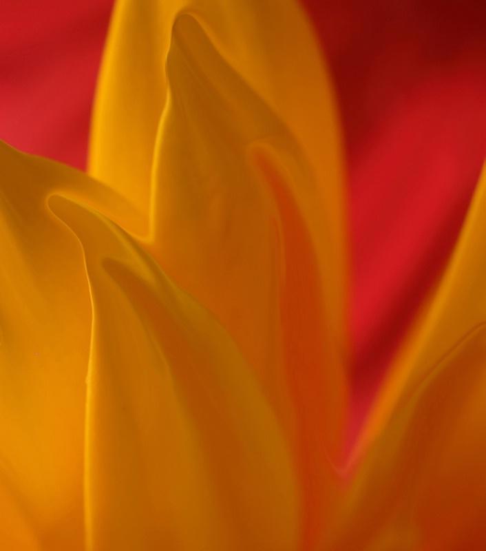 gerber petals