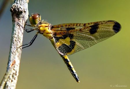 Stylish Dragonfly
