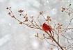 Cardinal in Snows...