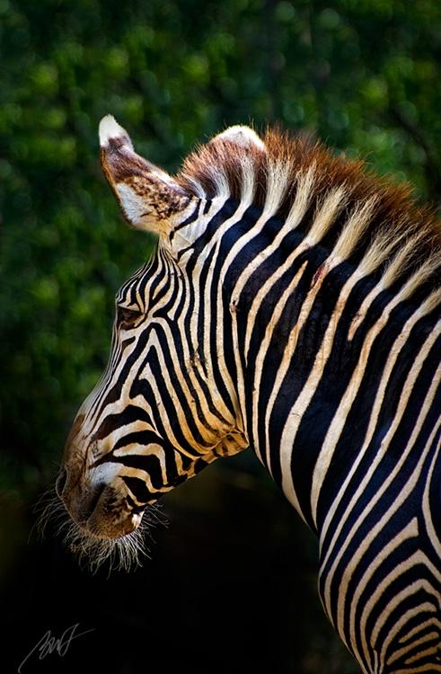 Zebra from San Diego Zoo