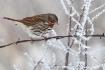 Fox Sparrow in Fr...