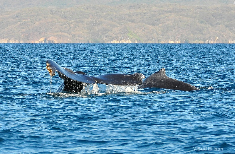 Mother Humpback Whale & Her Baby