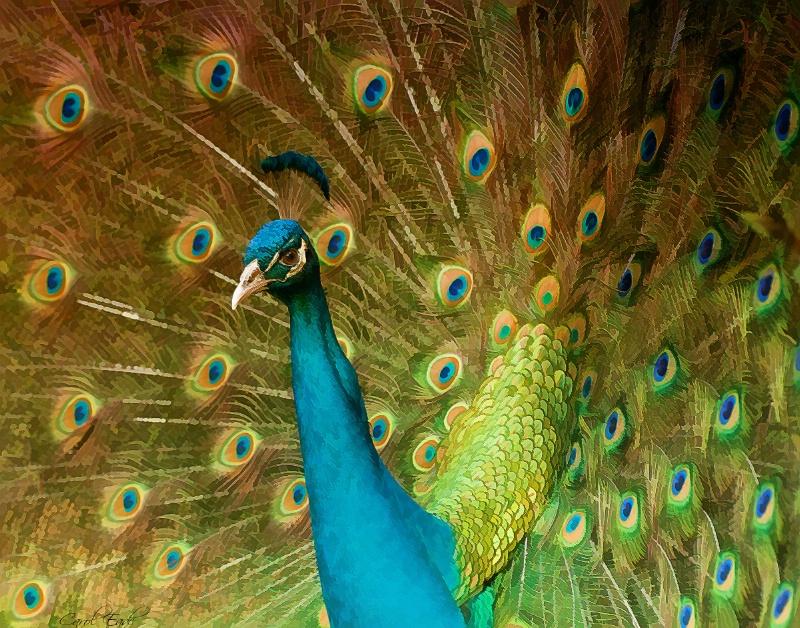 Peacock Display - ID: 9742472 © Carol Eade