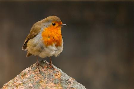 Friendly English Robin