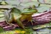 Girly Frog !