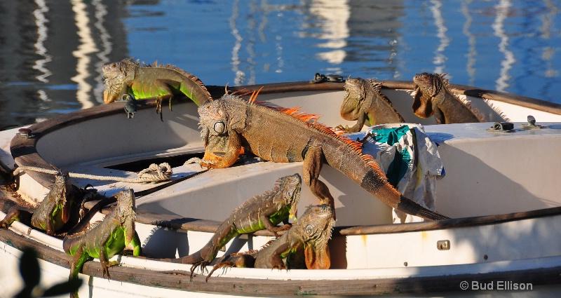 Ocho Iguanas