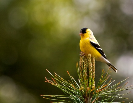 American Goldfinch -male
