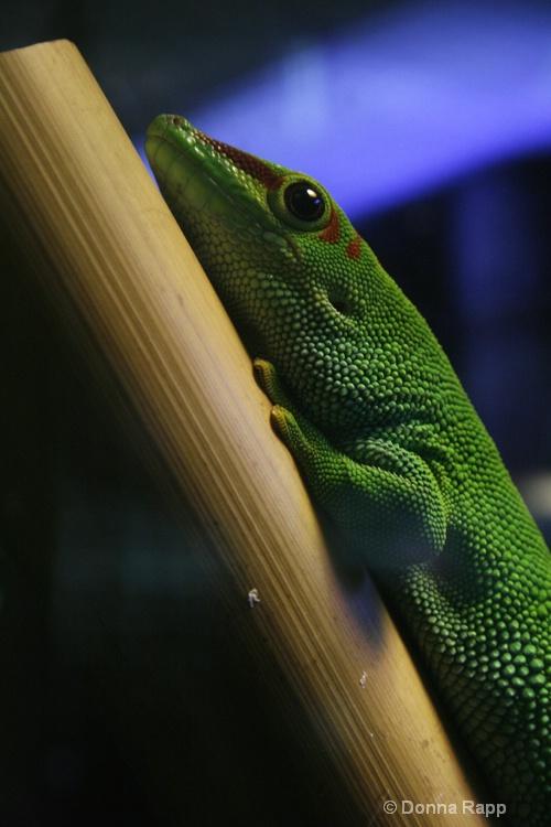 lounging lizard - ID: 9761840 © Donna Rapp