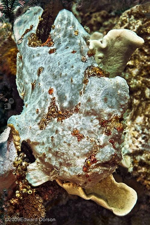 Painted Frogfish, Komodo - ID: 9770745 © Edward Dorson