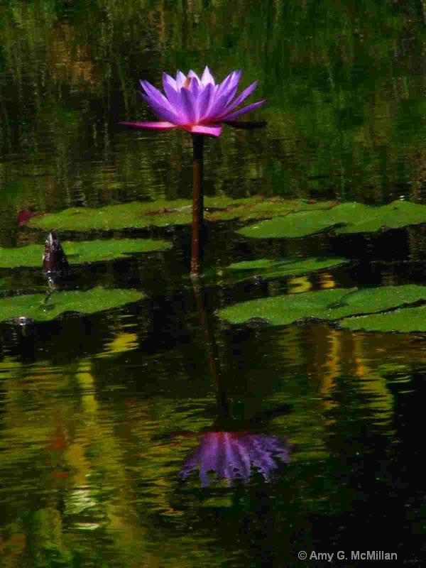 Lily's Reflection - ID: 9772840 © Amy G. McMillan