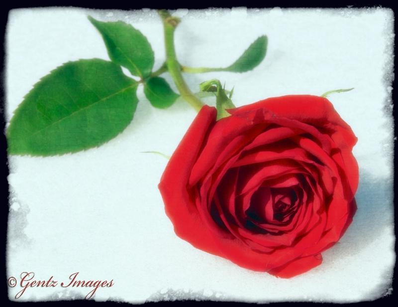 ~ to thee I give this rose ~