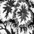© Edward A. Klostermann PhotoID # 9788257: begonia-leaves pic-2