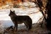 coyote texture