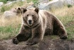 Big Pappa Bear