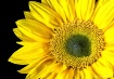 sunflower-power