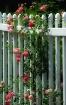 Beth's Roses